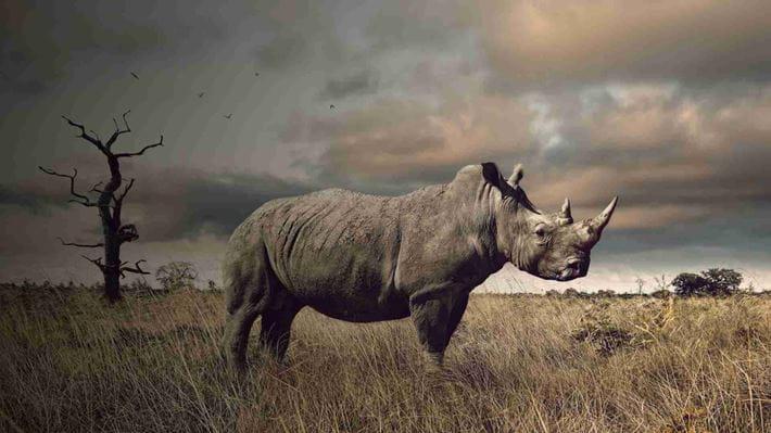 A rhino standing in a grassy field